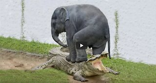Baby Elephant Saved From Crocodile By Brave Elephant