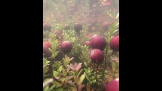 Incredible Video Shows How You Harvest Cranberries!