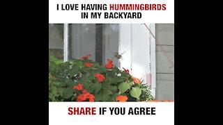 Hummingbirds [GMG Originals]
