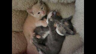 Battle of the kitties