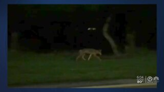 Officials issue safety tips as South Florida coyote populations booms