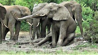 Big bull elephant sits down to enjoy body scratch in the mud