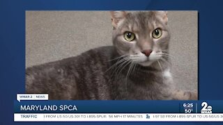 Jack Graham the cat is up for adoption at the Maryland SPCA