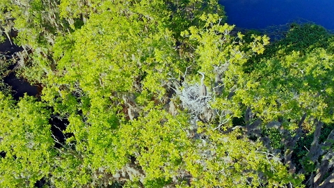 Drone view of mother heron guarding her nest high