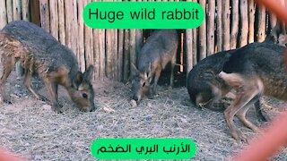 Huge wild rabbit || الأرنب البري الضخم