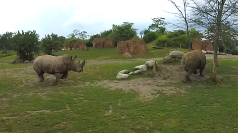 Massive white rhino with huge horn bluff charges another rhino