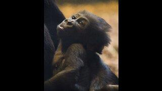 Beautiful little gorilla playing