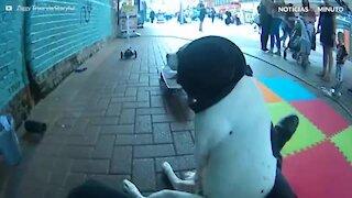 Cão mostra habilidade para esportes sobre rodas