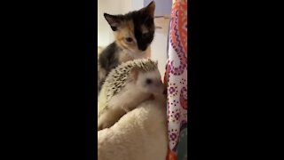 Kitten meets new pet hedgehog for the very first time