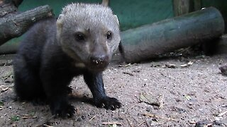 Adorable rescued Tayra loves sweet potato