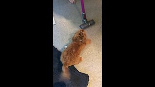 Puppy takes on his vacuum nemesis