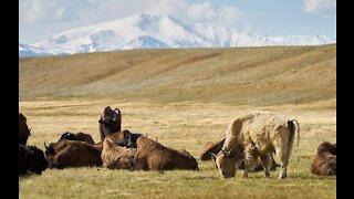 Bison Herd South Park Area Near Hartsel, Colorado