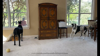 Funny Howling Great Dane Is A Great Watch Dog