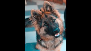 When you talk with a German Shepherd