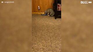 Ce chat est obsédé par un oiseau...virtuel