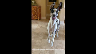 Bouncing Great Danes Are Told They Aren't Going Out Right Now