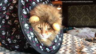 Annoyed cat not amused with lion Halloween costume
