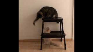 Playful Kitten annoying older Cat