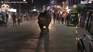 Un rhinocéros se promène tranquillement en ville