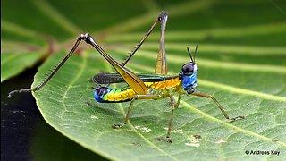 Colorful Monkey Grasshopper from the Amazon rainforest of Ecuador