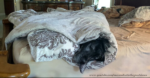 Sleepy Snuggly Great Dane Doesn't Want To Get Out Of Bed