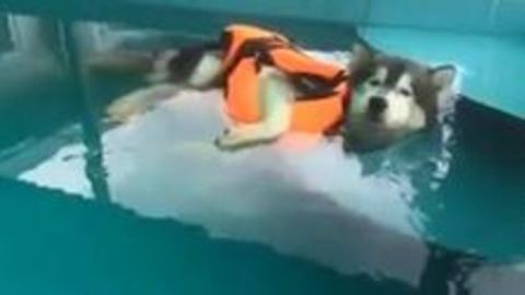 Lazy dog enjoys himself in the pool