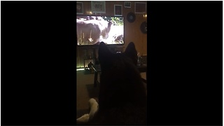 Husky loves to watch wildlife documentaries