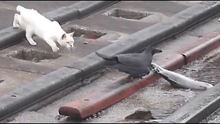 Clever Jungle Crow Takes Large Fish From Cat
