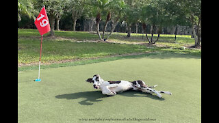 Funny Great Dane Loves To Roll Around On The Golf Green