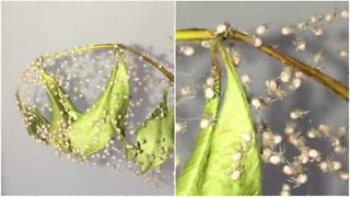 Baby spiders spin their first webs right after birth
