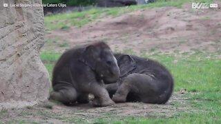 Deux éléphanteaux en pleine séance de jeu dans un zoo