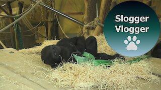 Baby Gorilla Indigo Plays With The Ribbon Part 2/2