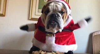 Meet the cutest Christmas Bulldog