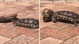 Solidarity between turtle