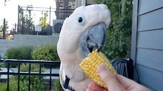 Cockatoo nibbles on corn cob with impressive precision