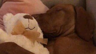 Puppy cuddles teddy bear while sleeping