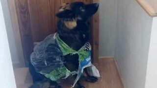 Dog caught red-handed trashing home