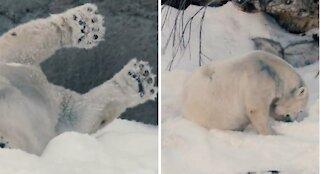 Polar bears play in snow😍🥰