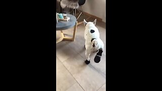 French Bulldog not too thrilled about new shoes