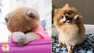 😍 Mini Pomeranian - Funny and Cute Pomeranian Videos