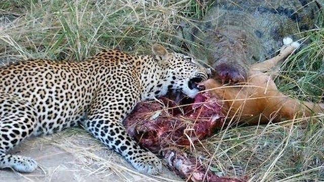 Leopard og krokodille kranglet om samme bytte