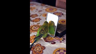 Birds Reaction When It Sees Itself In The Mirror...Watch What happens...
