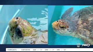 Loggerhead turtles to be released