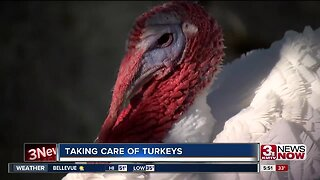 Getting Turkeys Ready for Market