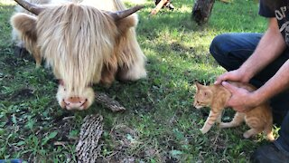 Kitten meets cow for the first time!