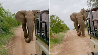 Morning Run – Elephant Chases After Safari Jeep