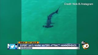 Expert says warm waters attract hammerheads