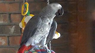 Talking parrot asks squirrel to speak with him