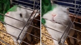 Cute bunny looks for ways out of her cage