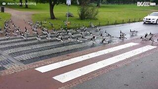 Gruppo di oche interrompe il traffico a Helsinki